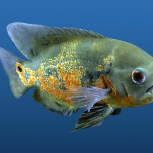 Fish Wallpaper 077 300x300