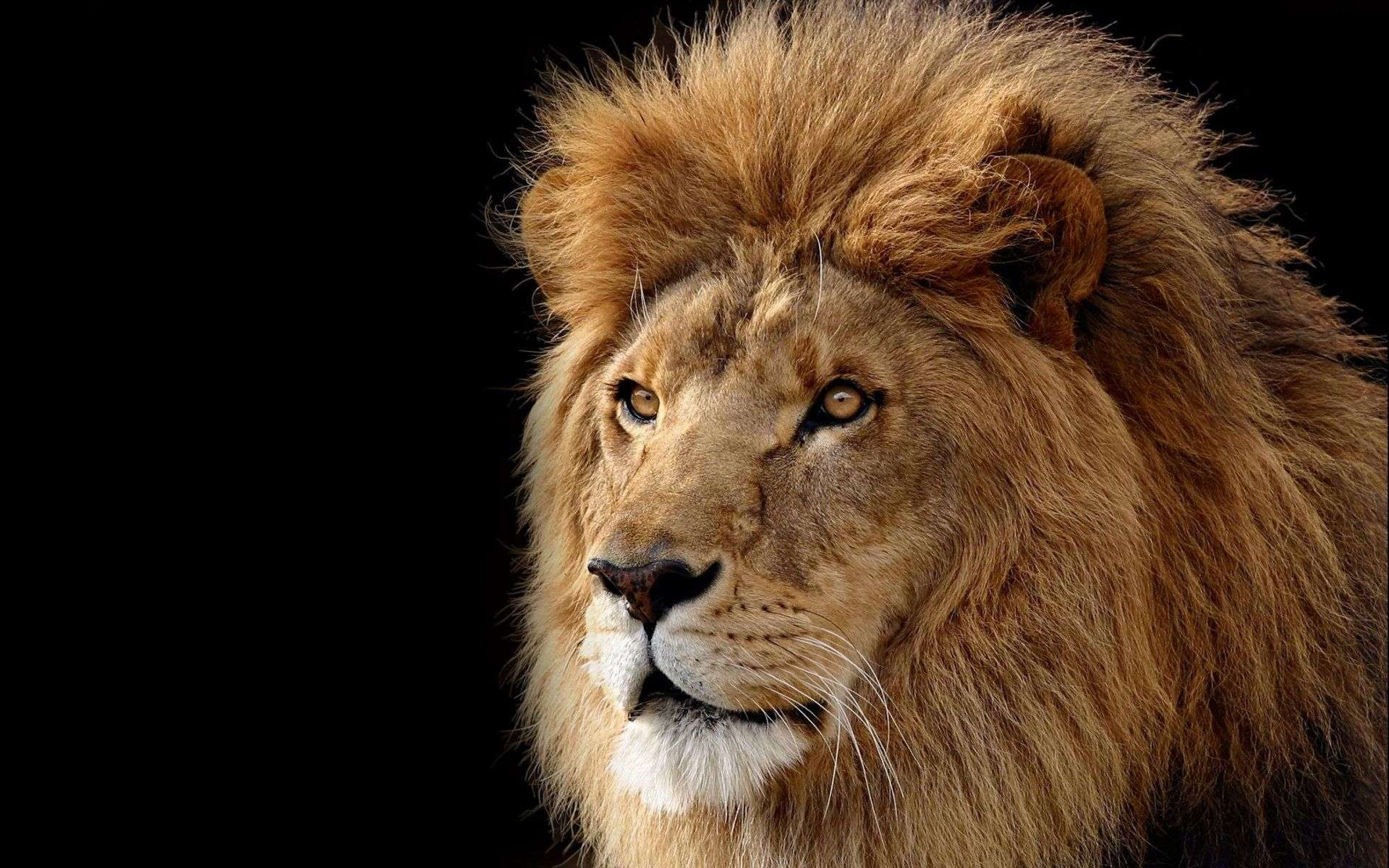 Lion Wallpaper 043