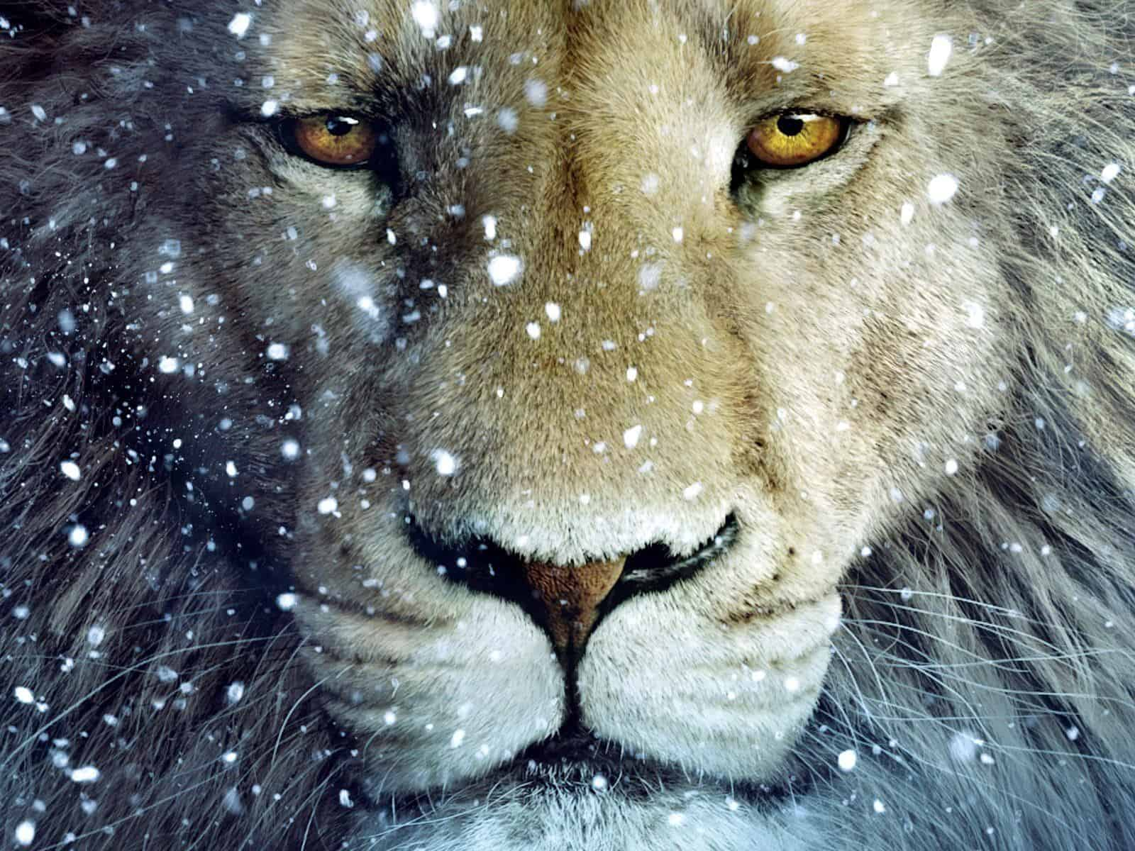 Lion Wallpaper 052