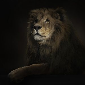 Lion Wallpaper 060 300x300