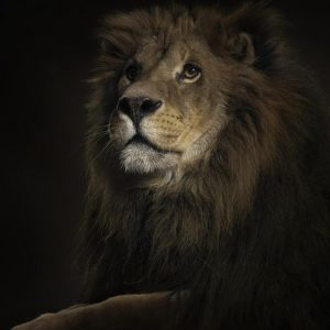 Lion Wallpaper 068 300x300