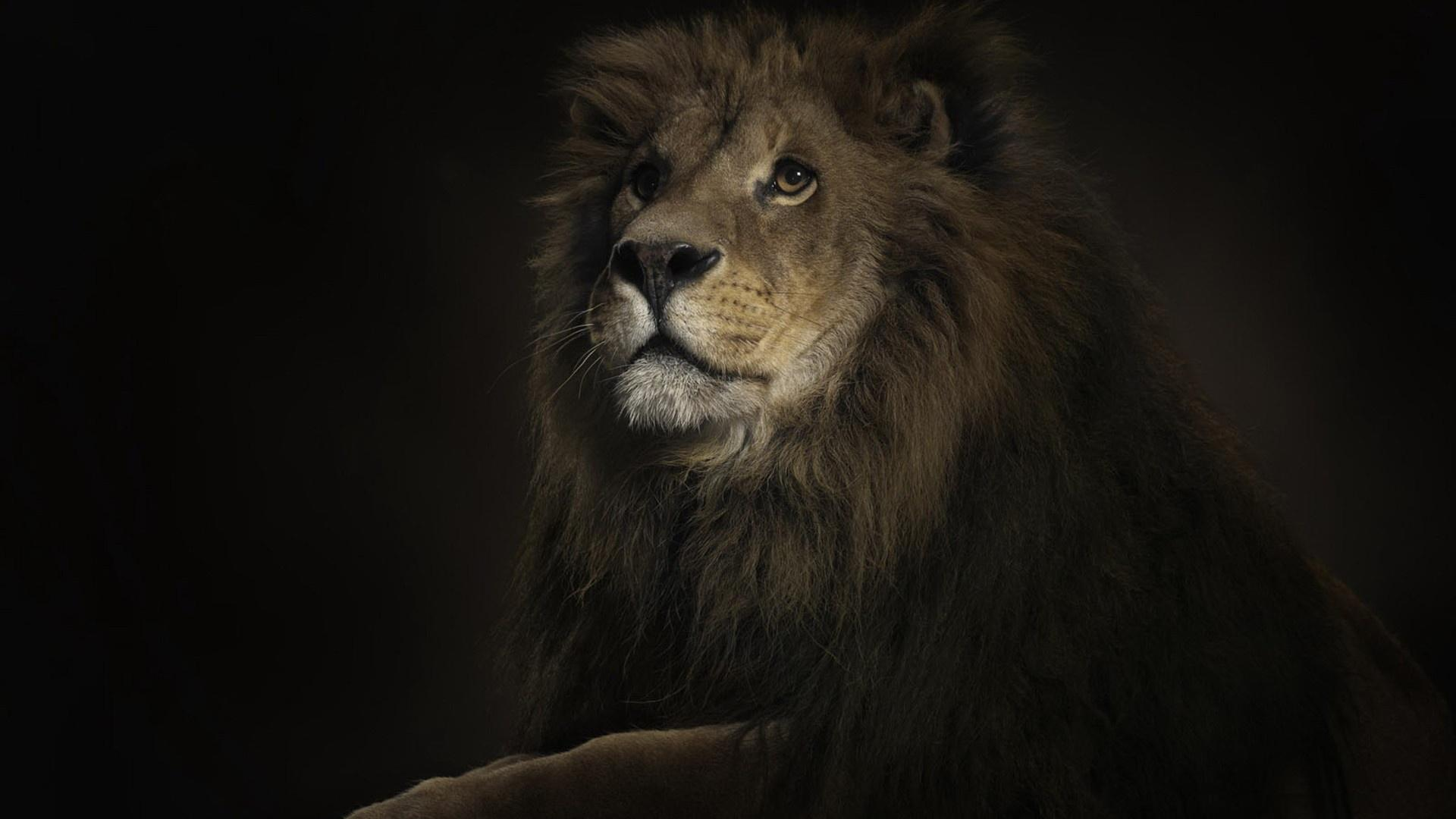 Lion Wallpaper 068