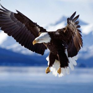 Eagle-Wallpaper-11-300x300.jpg