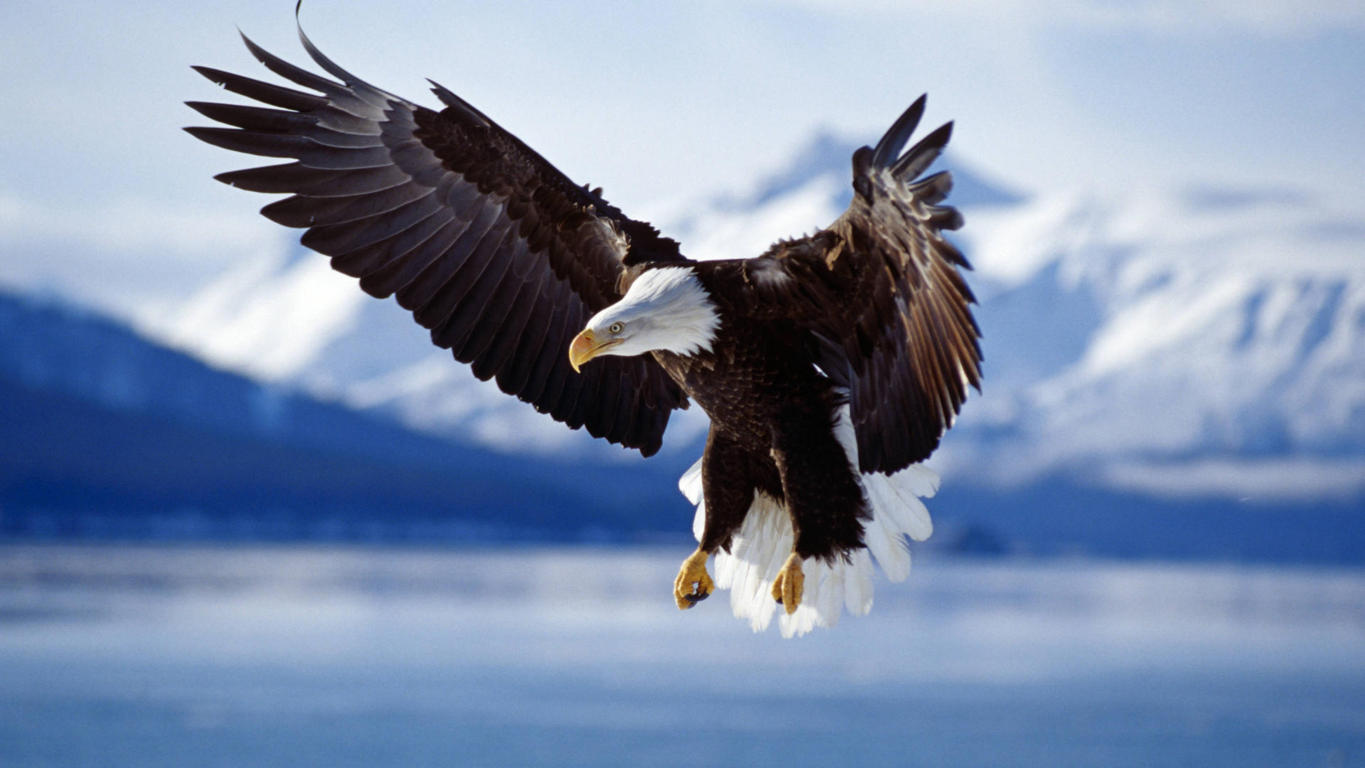 Eagle Wallpaper 11