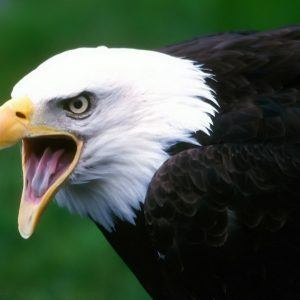 Eagle Wallpaper 19 300x300