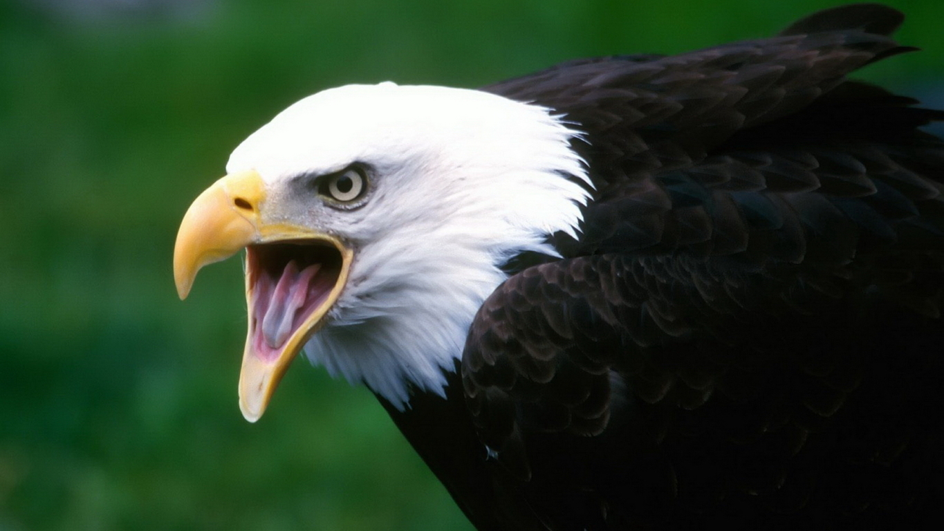 Eagle Wallpaper 19