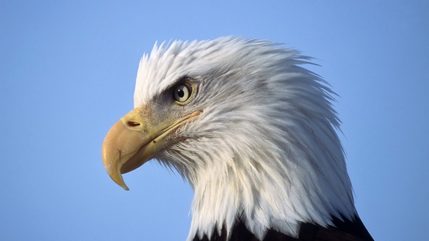 Eagle Wallpaper 24