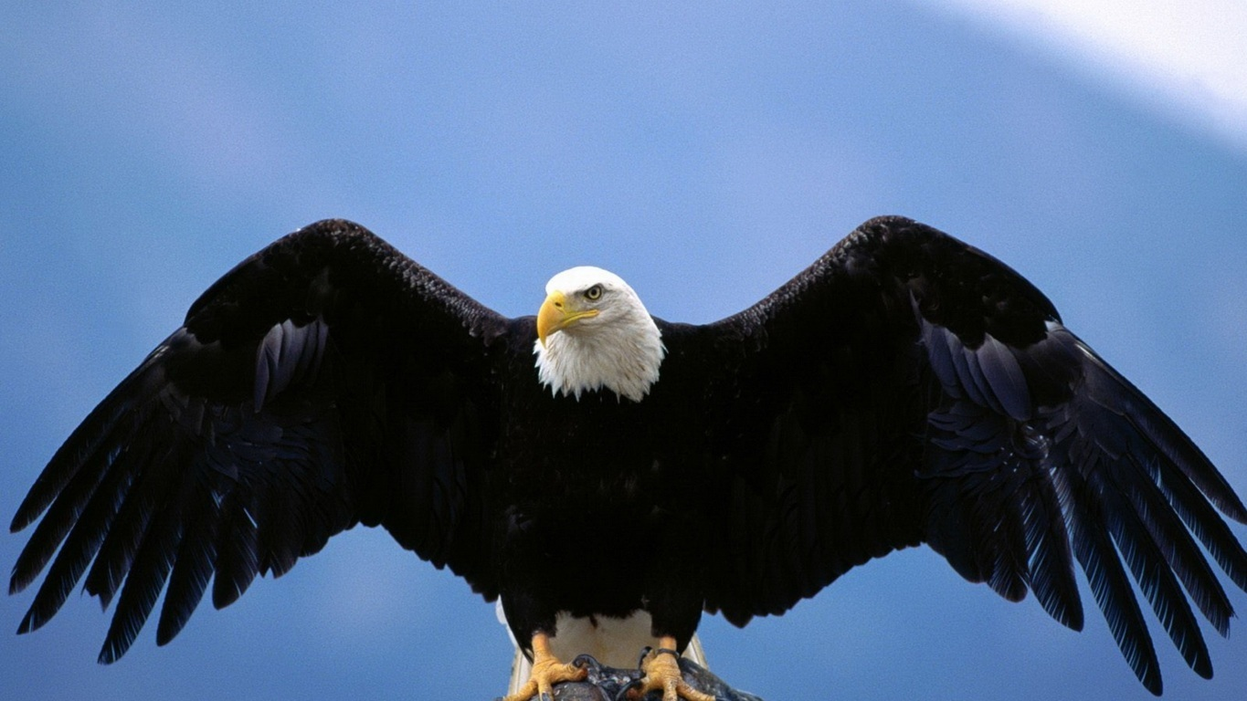 Eagle Wallpaper 26