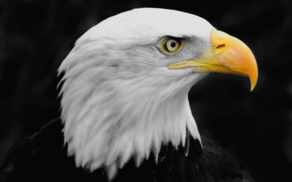 Eagle Wallpaper 34