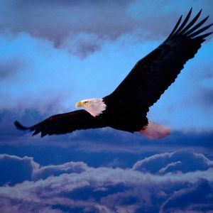 Eagle Wallpaper 36