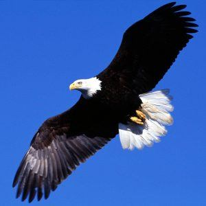Eagle Wallpaper 45