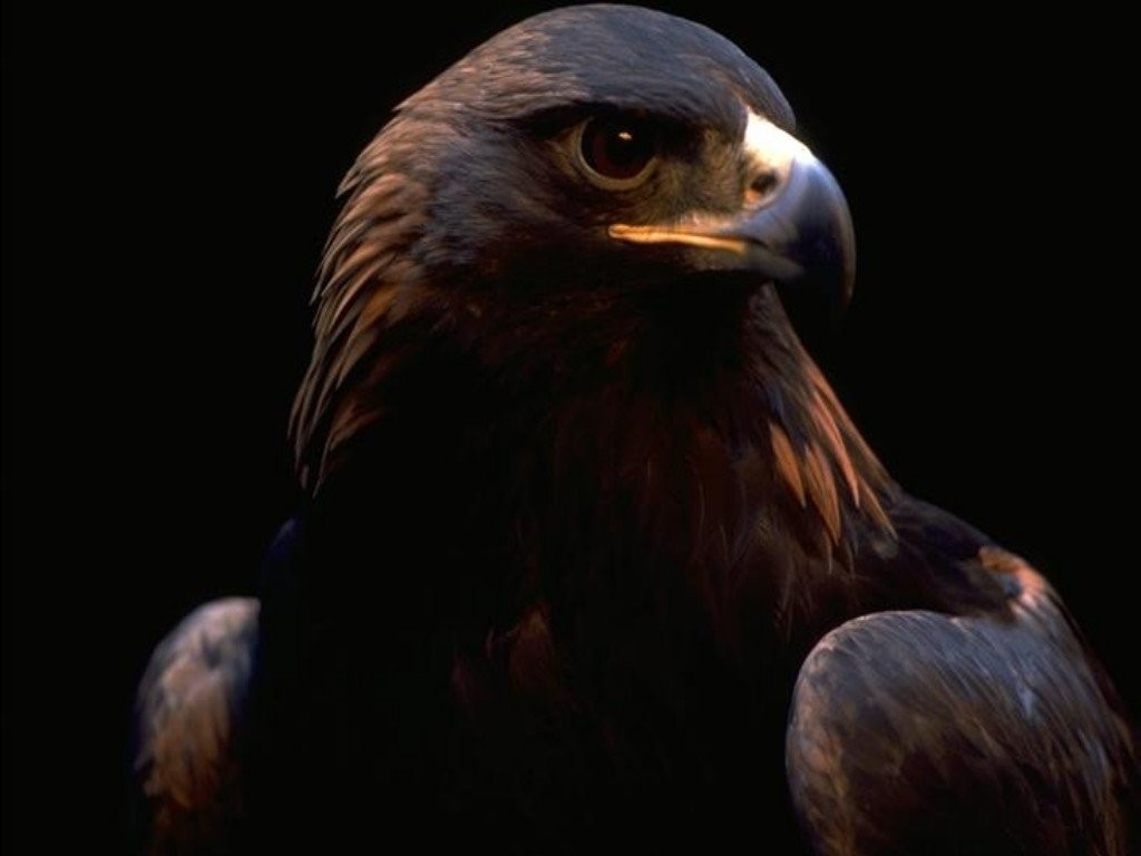 Eagle Wallpaper 46