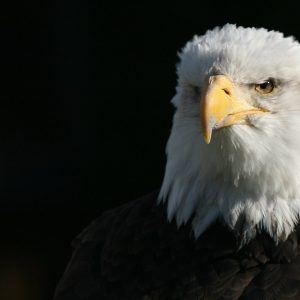 Eagle Wallpaper 47