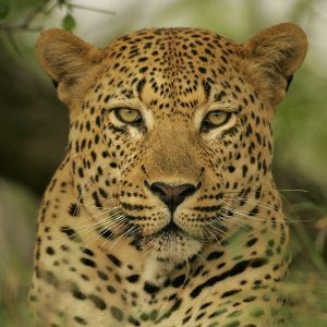 Leopar Wallpaper 11 300x300