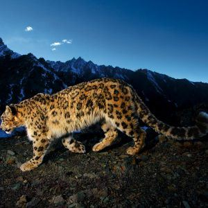Leopar Wallpaper 15