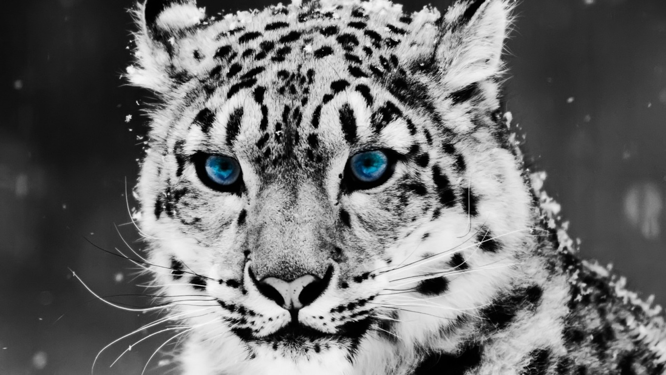 Leopar Wallpaper 16