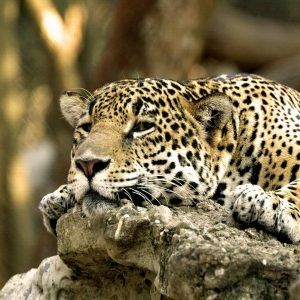 Leopar Wallpaper 17
