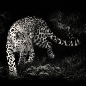 Leopar Wallpaper 18 300x300