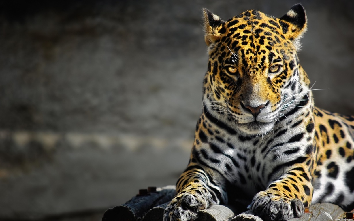 Leopar Wallpaper 2
