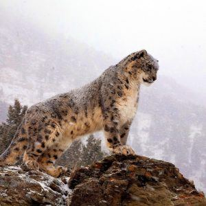 Leopar Wallpaper 20