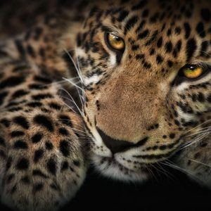 Leopar Wallpaper 21