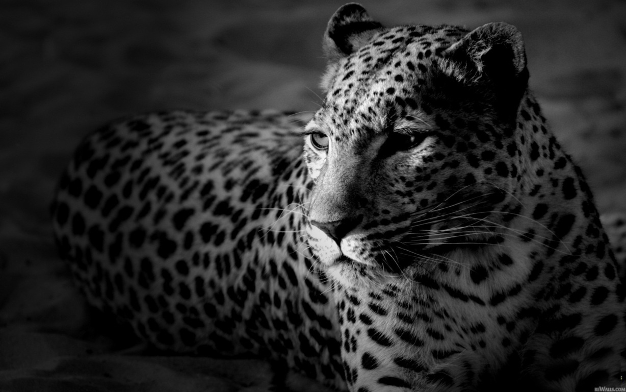 Leopar Wallpaper 6