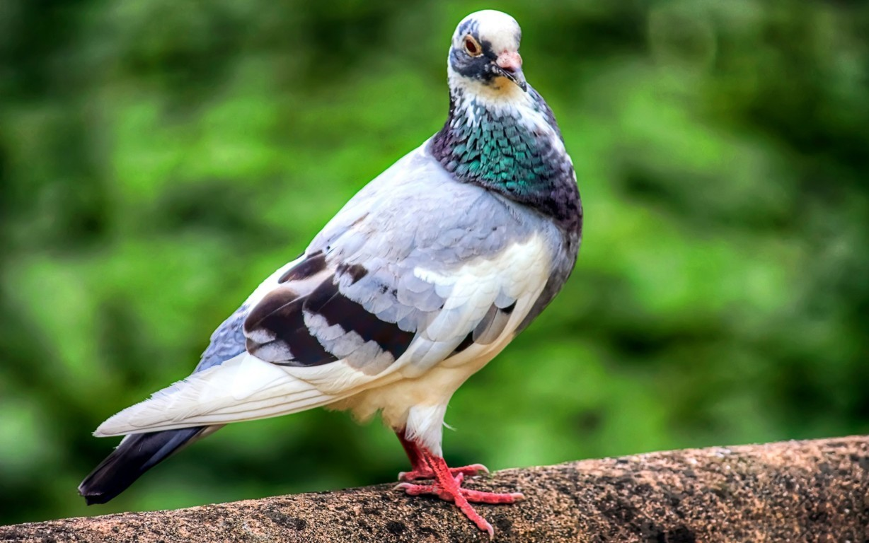 Pigeon Bird Wallpaper 12
