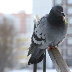 Pigeon Bird Wallpaper 6