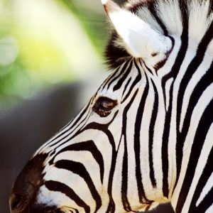 Zebra Wallpaper 1 300x300