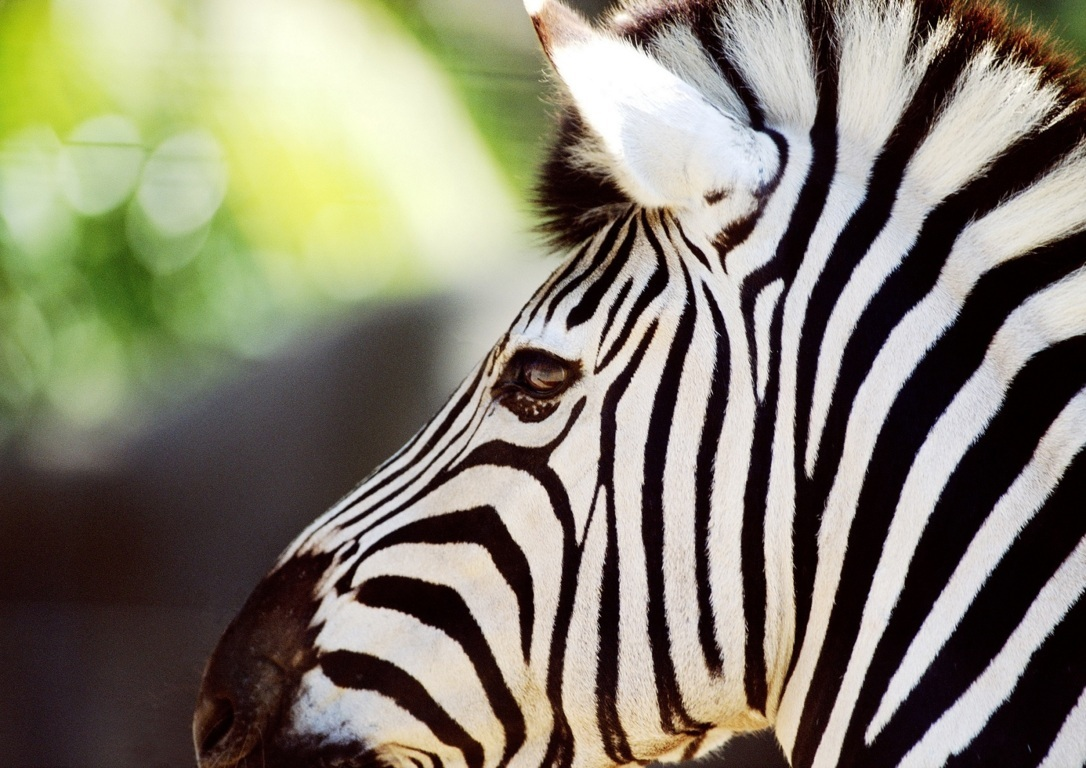 Zebra Wallpaper 1