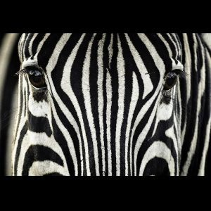 Zebra Wallpaper 20 300x300