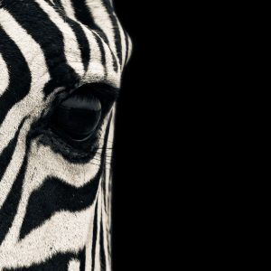 Zebra Wallpaper 22 300x300