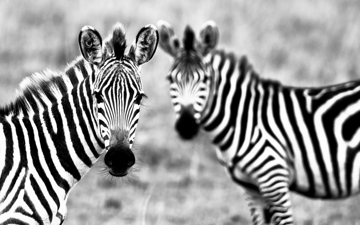 Zebra Wallpaper 29