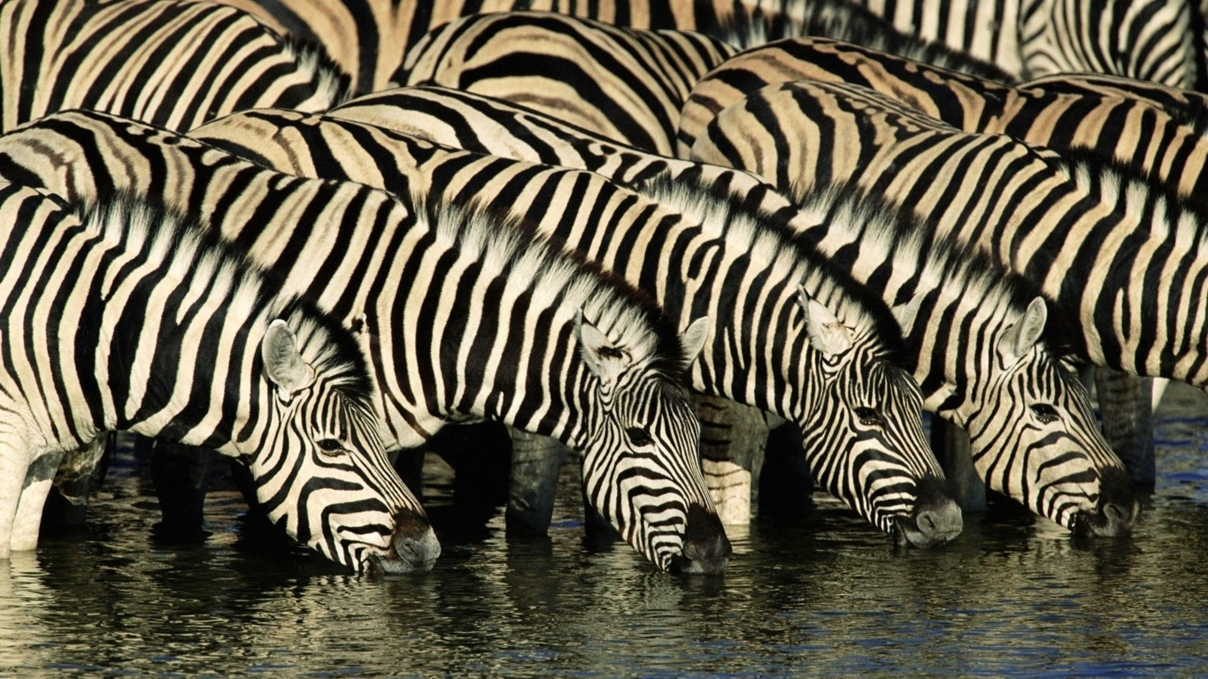 Zebra Wallpaper 32