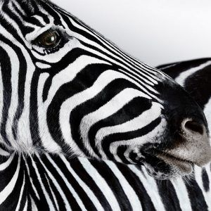 Zebra Wallpaper 34