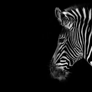 Zebra Wallpaper 38 300x300