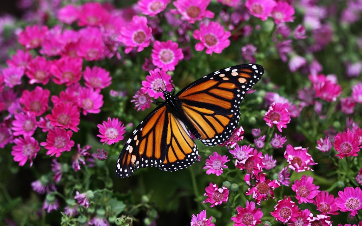 Butterfly Wallpaper 027