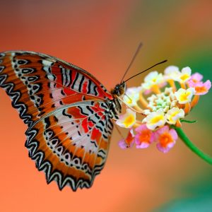Butterfly Wallpaper 048 300x300