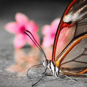 Butterfly Wallpaper 052 300x300