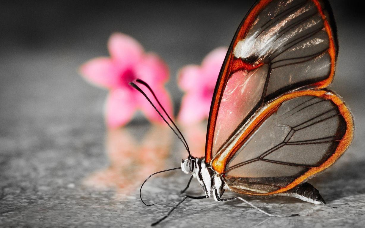 Butterfly Wallpaper 052