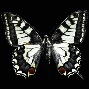 Butterfly Wallpaper 053 300x300