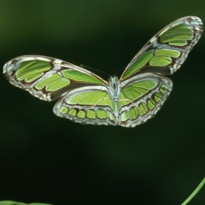 Butterfly Wallpaper 055 300x300