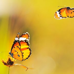 Butterfly Wallpaper 059