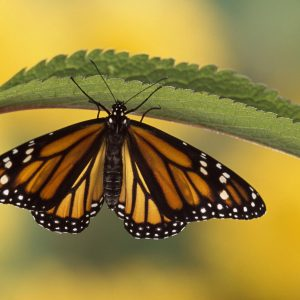 Butterfly Wallpaper 063 300x300