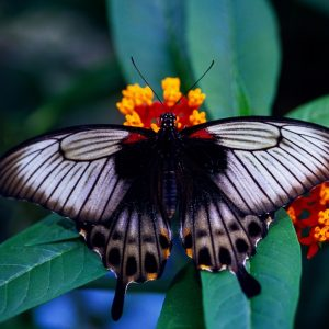 Butterfly Wallpaper 073 300x300