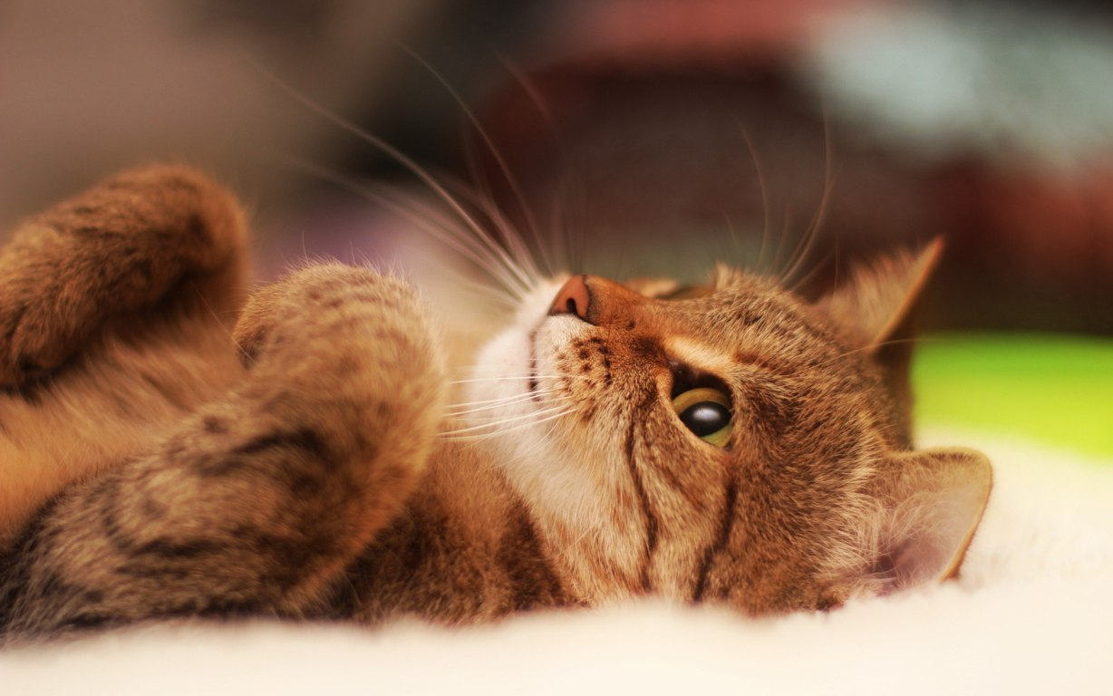 Cat Wallpaper 014