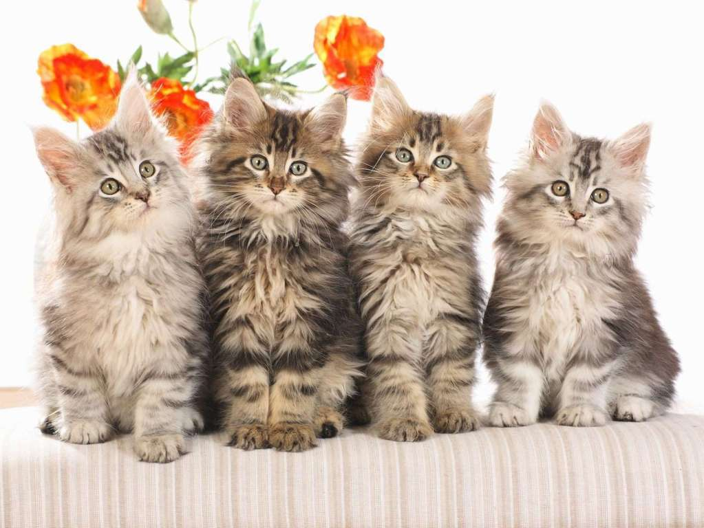 Cat Wallpaper 089