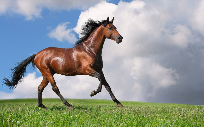 Horse Wallpaper 076