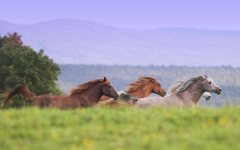 Horse Wallpaper 086