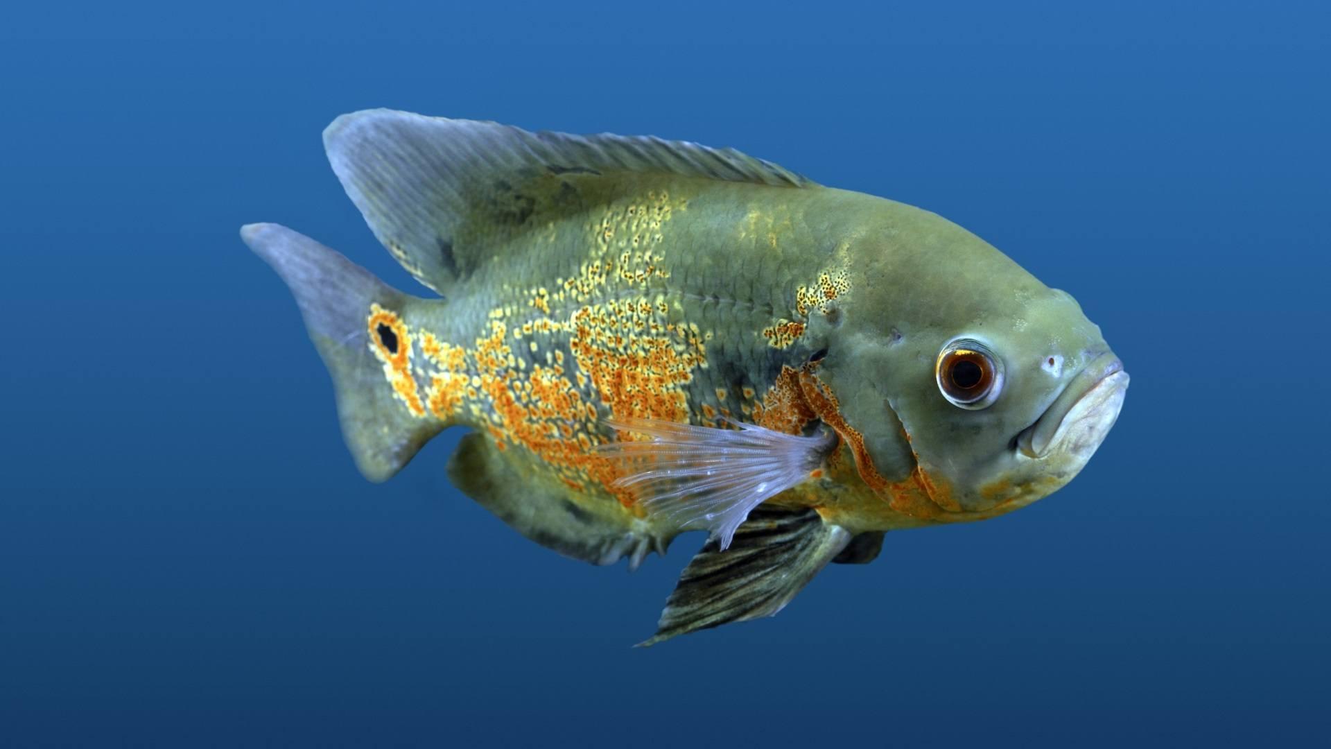 Fish Wallpaper 077